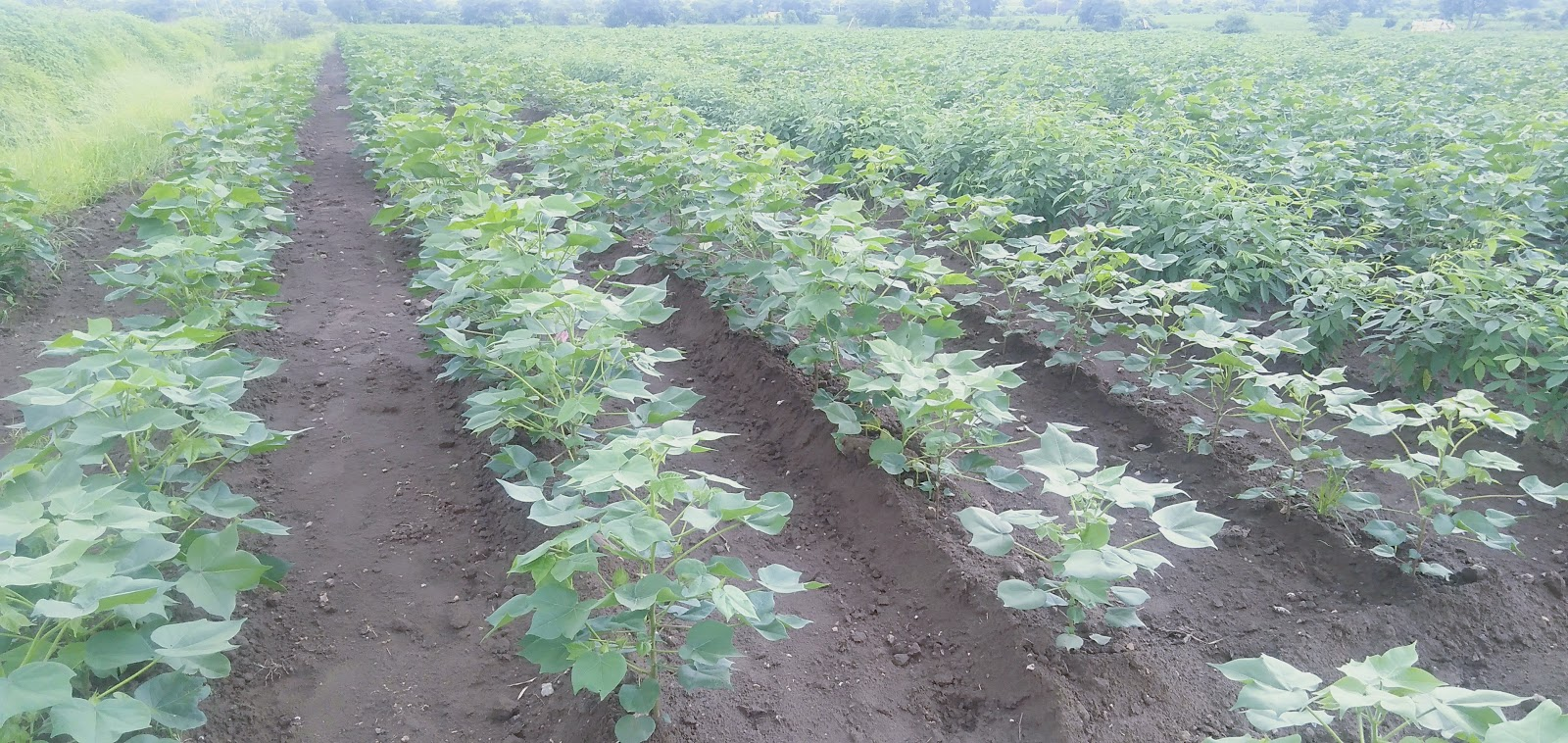Furrows drawn in cotton fields promote irrigation efficiency. Photo credit: Institute for Sustainable Communities